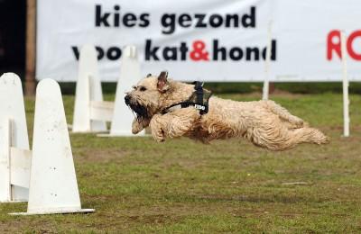 Flyball bij KC Gorinchem